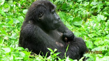 baby-gorilla-born-2016-11-11-at-bwindi-national-park03