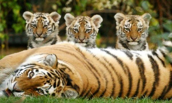 India travel industry pushing tiger tourism