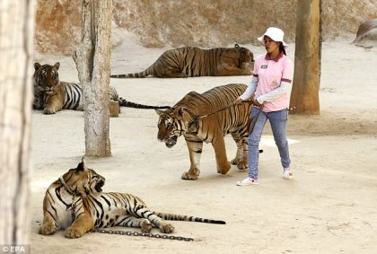 Thailand's infamous Tiger Temple plans to reopen under another name