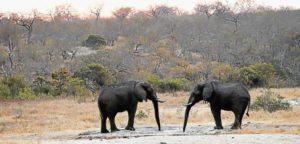 Young elephants fleeing Mozambique poachers shot on SA farm