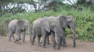 Confusion: Zimbabwe Elephant Exports amidst global condemnation
