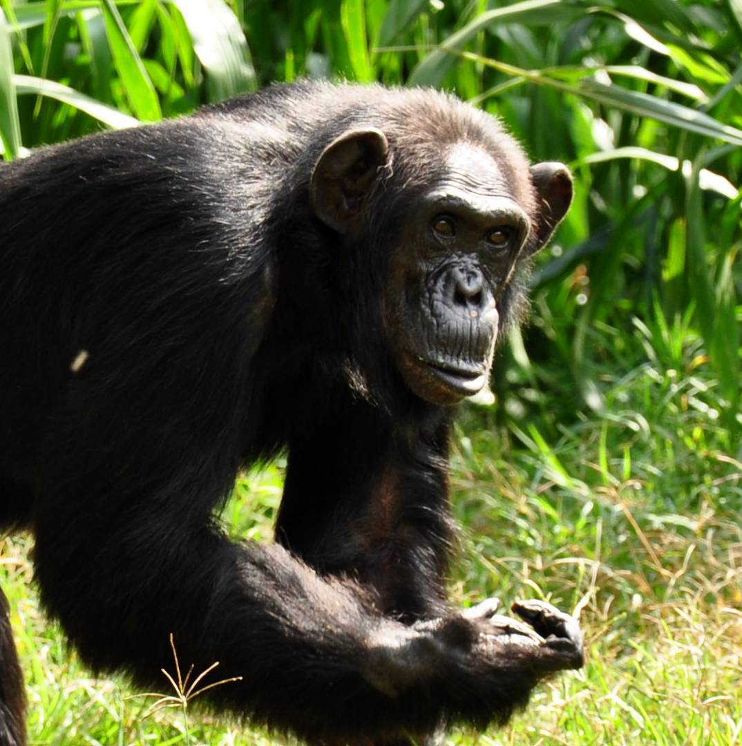 Oldest known captive chimpanzee dies
