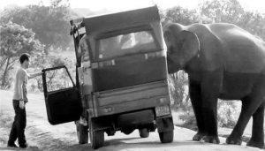 Wild elephant antics and broken tusks