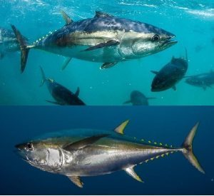 The difference between Blue and Yellow (Fin Tuna)