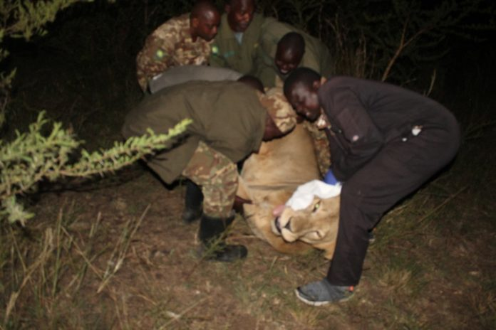 Uganda Wildlife Authority protecting lions, communities and tourism