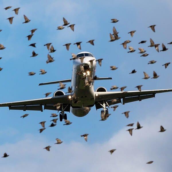 Russian aviation regulator: Zhukovsky Airport needs to improve flight safety, bird situation