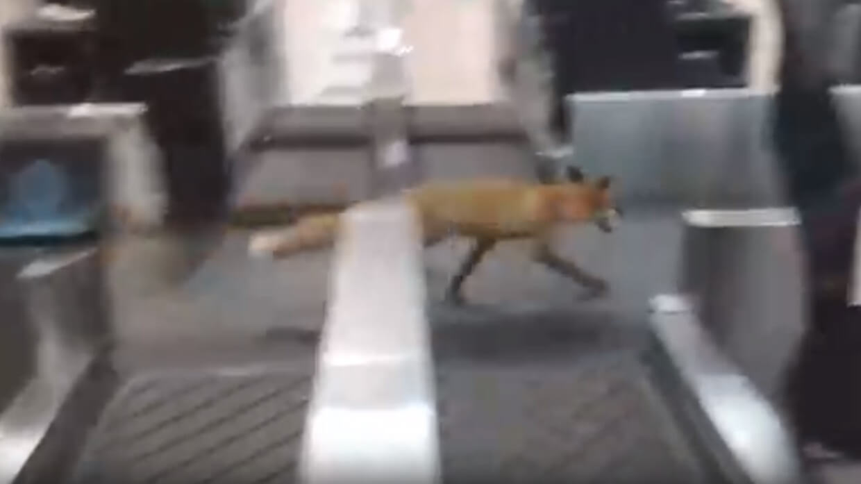 Fox invades Moscow's busy Domodedovo Airport