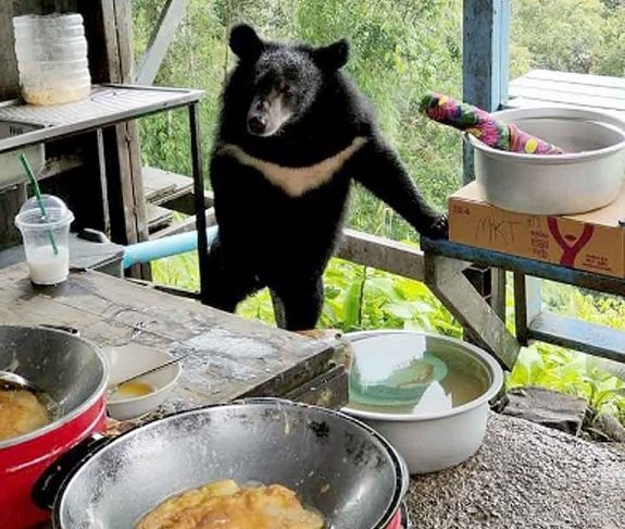 This Asian Black Bear loves Omelet, Facebook, and Tourism